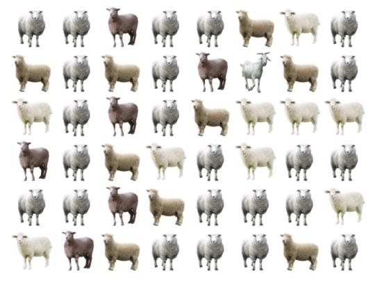 30 giây bạn có tìm ra điểm khác biệt giữa bầy cừu - 6