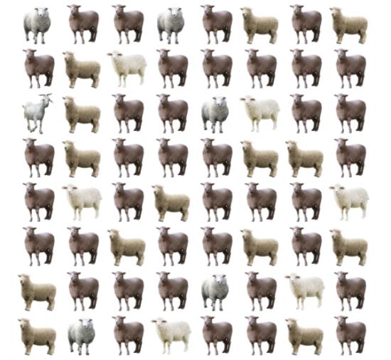 30 giây bạn có tìm ra điểm khác biệt giữa bầy cừu - 7