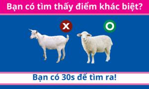 30 giây bạn có tìm ra điểm khác biệt giữa bầy cừu