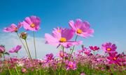 Quiz: Mùa hoa nở rộ theo tháng, bạn có biết?