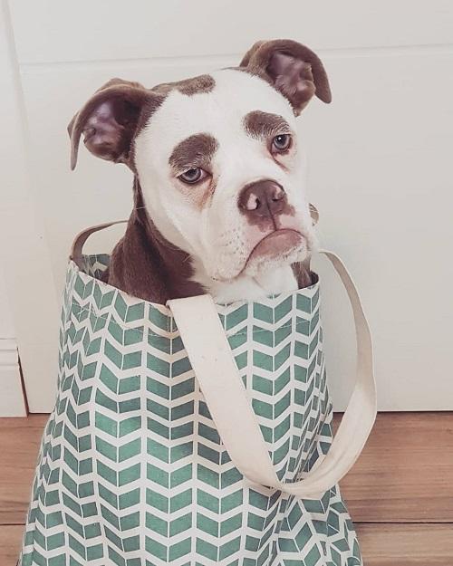 Nàng chó có gương mặt sầu đời nhất mạng xã hội - 3