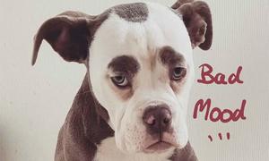 Nàng chó có gương mặt 'sầu đời' nhất mạng xã hội