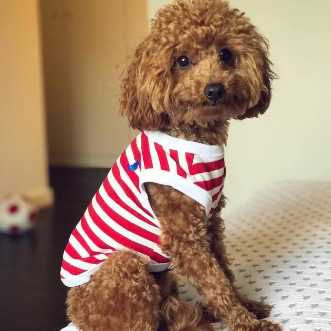 <p> Chú chó họ nhà Poodle chinh phục trái tim của nhiều người nhờ bộ lông xù đáng yêu, xinh xắn.</p>