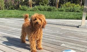 Chú chó của siêu sao Sergi Roberto có cuộc sống siêu sang chảnh