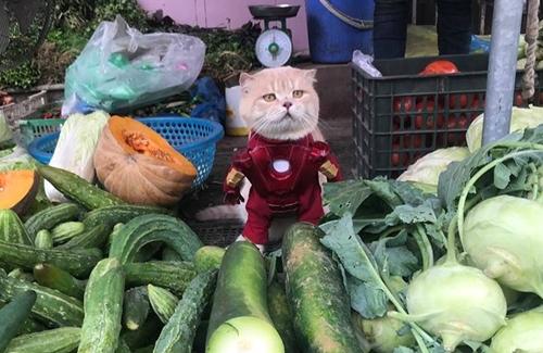Những siêu anh hùng trong series phim bom tấn Avenger của Marvel Studios như thần sấm Thor, nhân vật phản diện Loki và Ironman Tony Stark mới đây được chú mèo tên Chó tại Hải Phòng hóa thân ngộ nghĩnh. Đây là chú mèo từng gây sốt mạng xã hội, thậm chí lên cả báo quốc tế.