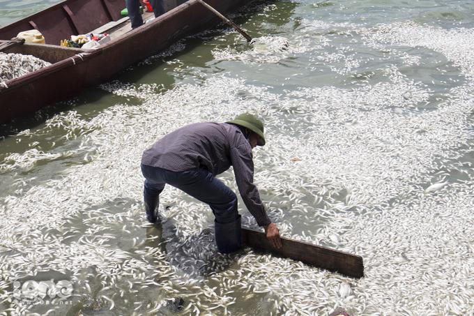 Cá chết trắng mặt Hồ Tây