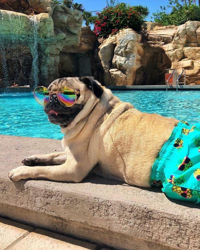 <p> Pug nhà giàu thì phải có những cuộc nghỉ dưỡng dài ngày mới xứng đẳng cấp.</p>
