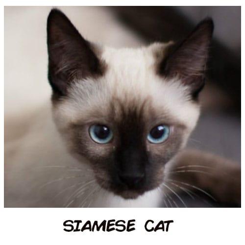 Nếu trở thành mèo, 12 chòm sao sẽ là giống mèo sang chảnh nào? - 1