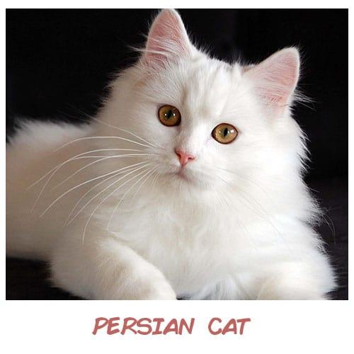 Nếu trở thành mèo, 12 chòm sao sẽ là giống mèo sang chảnh nào? - 2