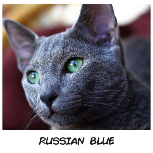 Nếu trở thành mèo, 12 chòm sao sẽ là giống mèo sang chảnh nào? - 5