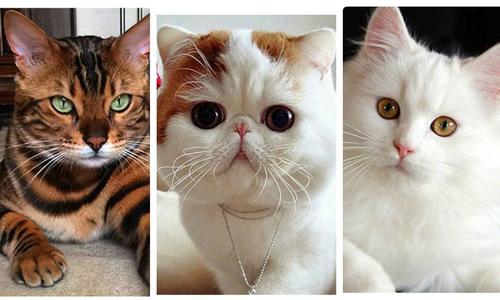 Nếu trở thành mèo, 12 chòm sao sẽ là giống mèo sang chảnh nào?