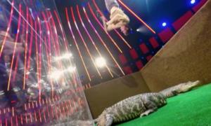 Thí sinh 'Got Talent' gây kinh hãi khi treo ngược người trước miệng cá sấu