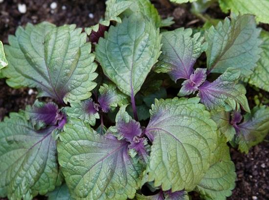 Thánh sành ăn có phân biệt được các loại rau thơm? - 5