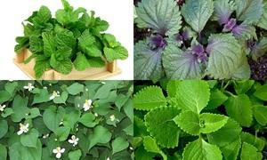 'Thánh sành ăn' có phân biệt được các loại rau thơm?