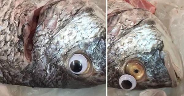 Chú cá sau khi bị tháo mắt giả.