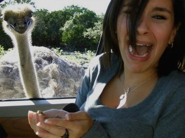 Khi du lịch ở công viên Safari, hãy cẩn thận với đà điểu ...