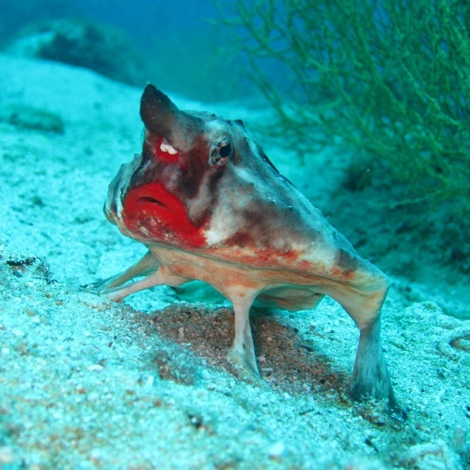 <p> Cá dơi môi đỏ có tiềm năng làm người mẫu cho các hãng son đấy chứ? Chúng trông thật bảnh chọe phải không?</p>