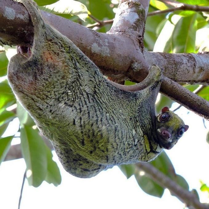 <p> Bạn đã bao giờ tận mắt nhìn thấy một con chồn bay Philippines? Trong đêm rừng tối đen như mực, chồn bay có thể bay từ cây này qua cây khác mà hoàn toàn không bị ngã hoặc bị vướng phải dây leo, bụi rậm mọc chằng chịt trong khắp khu rừng.</p>