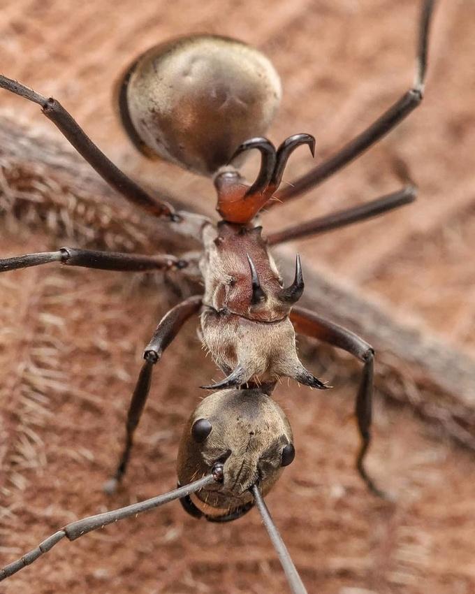 <p> Kiến móc câu là một sinh vật khá nguy hiểm. Chiếc sừng hình móc trên lưng chúng có thể đâm xuyên và mắc vào bất cứ con vật nào tấn công chúng.</p>