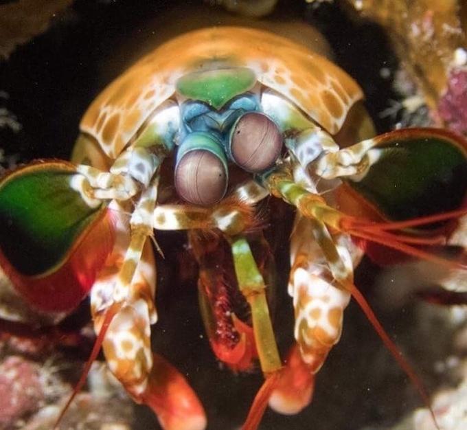 """<p> Đây chính là một con tôm bọ ngựa, một trong những sinh vật biển sặc sỡ nhất.Tôm bọ ngựa (tên gọi khác là tôm búa), có chiều dài có thể đạt tới 40cm. Màu sắc của tôm bọ ngựa khá đa dạng, từ xanh lục, nâu, đen nhạt đến hồng, vàng nhạt là loài động vật giáp xác biển săn mồi hung hãn. Nhờ vũ khí lợi hại là chiếc càng to khỏe, tôm bọ ngựa có khả năng bắt mồi nhanh như chớp, khiến chúng thực sự trở thành """"sát thủ"""" dưới đại dương.</p> <p> </p>"""