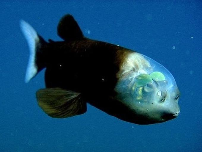 """<p> Cá mắt thùng là một loài cá nhỏ ở biển với cặp mắt dạng ống và phần đầu trong suốt.Loài cá này có cơ thể dài chừng 15 cm, đôi mắt hình ống của chúng cực kỳ nhạy sáng, có thể hấp thu được ánh sáng ở độ sâu lên tới 2.500m. Đôi mắt hình ống có thể xoay tròn, cho phép chúng quan sát các hướng và kiếm mồi. Đây là một """"vũ khí"""" vô cùng lợi hại giúp chúng có thể tồn tại dưới đáy biển sâu khi săn mồi và trốn kẻ thù.</p>"""