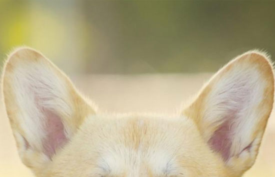 Xem tai đoán đây là giống chó gì?
