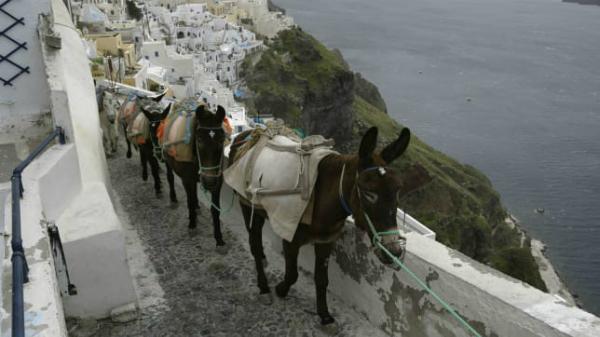 Những chú lừa trên đảo Santorini.