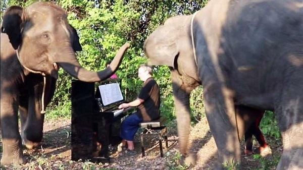 Nghệ sĩdương cầm chơi đàn giữa bầy voi.