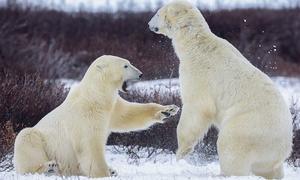 Cảng biển ở Nga bị gấu trắng bao vây, dân nơm nớp sợ bị ăn thịt