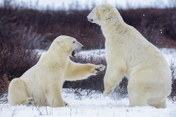 Loài gấu trắng Bắc cực.