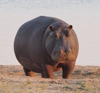 5 con vật trên cạn nặng nhất là con nào? - 3
