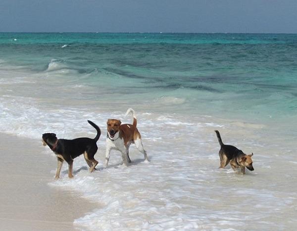Các chú chó đáng yêu và không kém phần nghịch ngợm ở bãi biển.