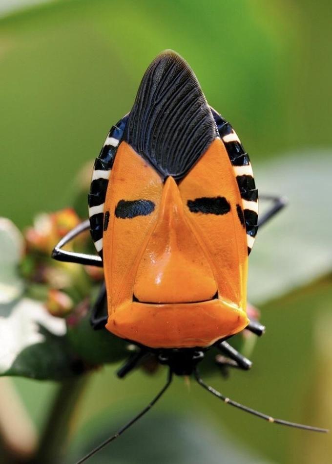 <p> Con bọ đặc biệt nhất quả đất khi có khuôn mặt người ở trên thân.</p>
