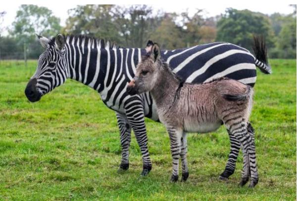 Zippy cùng người mẹ ngựa vằn của mình, Ziggy.