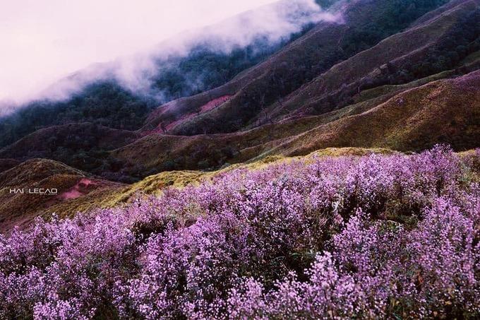 """<p> Ngọn núi giờ đây bỗng nở rộ màu tím như những cánh đồng violet, lavender ở trời Âu. Không ai biết loại hoa này có từ bao giờ và tên là gì. Người Mông gọi hoa này là hoa chi pâu - trong tiếng Mông có nghĩa là """"không biết"""".</p>"""