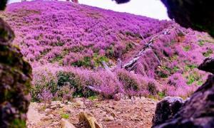 Đồi hoa tím mộng mơ trên đỉnh núi cao thứ bảy Việt Nam