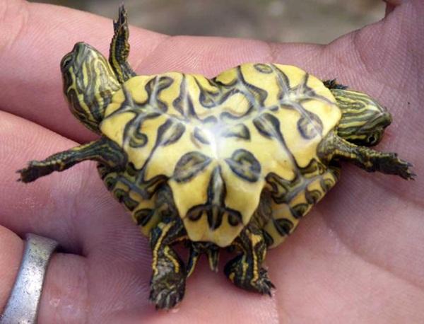 Tìm thấy rùa hai đầu ở Cuba - 1