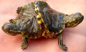 Tìm thấy rùa hai đầu ở Cuba