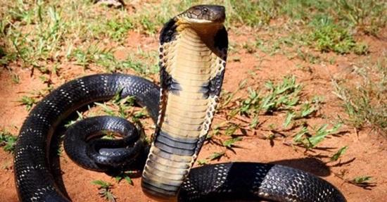 Khám phá các loài rắn độc qua những câu đố hóc búa - 5