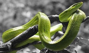Khám phá các loài rắn độc qua những câu đố hóc búa