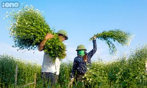 Cúc họa mi - loài hoa dại cho thu nhập cả trăm triệu đồng