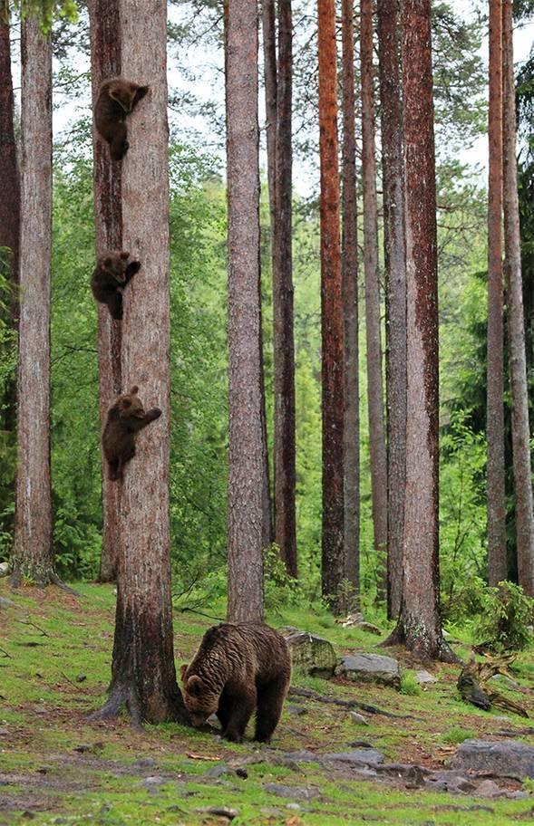 """<p> Bức ảnh của tay máy Valtteri Mulkahainen (Phần Lan) có cái tên khá hài hước """"Gấu mẹ trở về sau cuộc họp phụ huynh"""".</p>"""