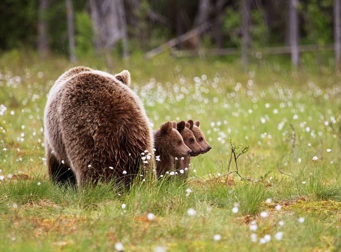 <p> Ba chú gấu con xếp hàng thẳng tắp.</p>