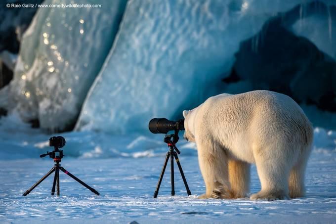 <p> Gấu trắng làm... nhiếp ảnh gia.Ảnh của Roie Galitz - Na Uy.</p>