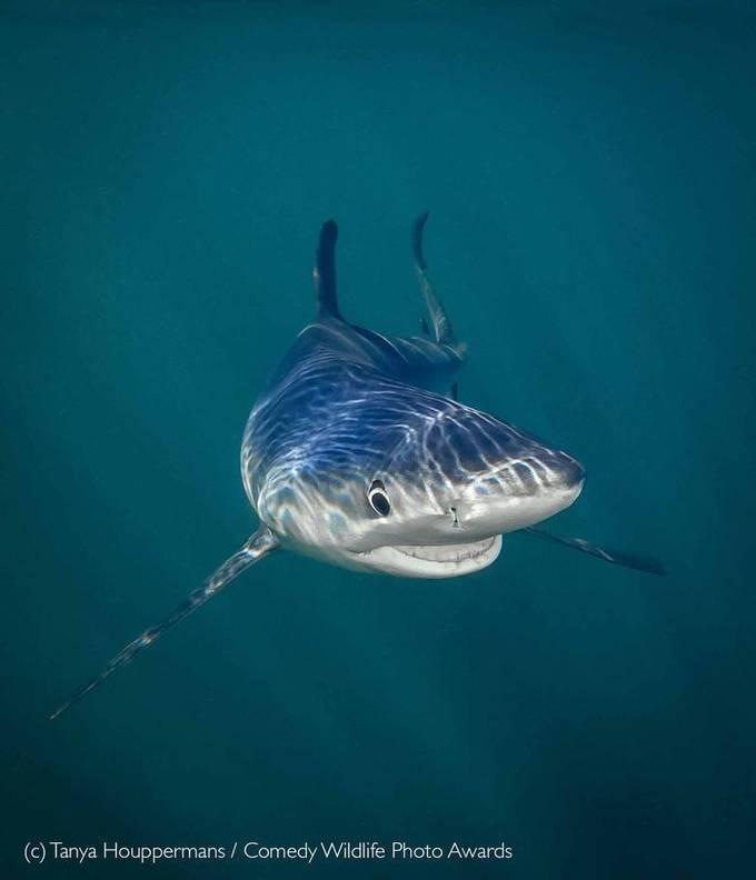 """<p> Nụ cười của cá mập xanh - Bức ảnh đoạt giải """"Sinh vật dưới nước"""" thuộc về Tanya Houppermans (Mỹ).</p>"""
