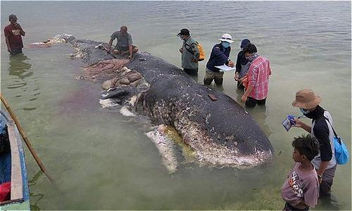 Cá voi chết thảm ở bãi biển Indonesia với 1.000 mảnh nhựa trong bụng