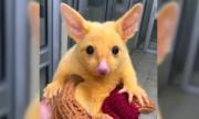 Con vật gây sốt vì đáng yêu như Pikachu