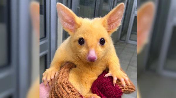 Con chồn có vẻ ngoài giống hệt pikachu.