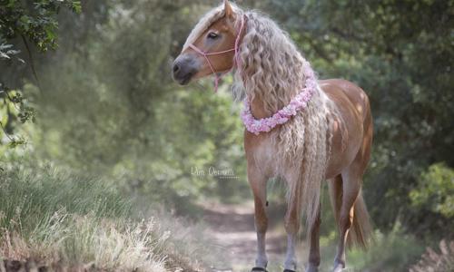 Bờm dài 1m, đây chính là phiên bản 'công chúa tóc mây' trong thế giới ngựa