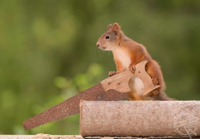 <p> Những bức ảnh hài hước được chụp tại Bispgården, Thụy Điển bởi nhiếp ảnh gia địa phương Geert Weggen. Các shoot ảnh ghi lại khoảnh khắc kỳ lạ về con sóc cần cù sử dụng chiếc rìu thu nhỏ để chặt gỗ thành những mảnh nhỏ hơn trước khi lăn chúng đến bếp lò.</p>